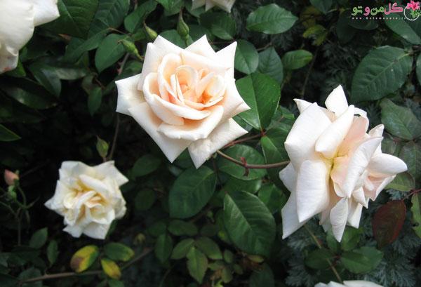 گل رز سافرانو از رز چای
