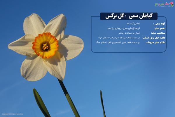 گل نرگس سمی