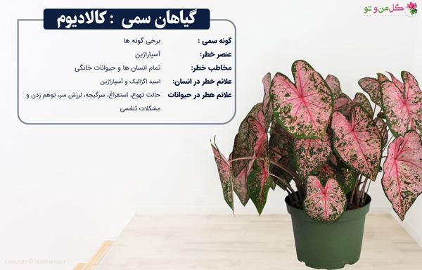 گیاهان سمی کالادیوم