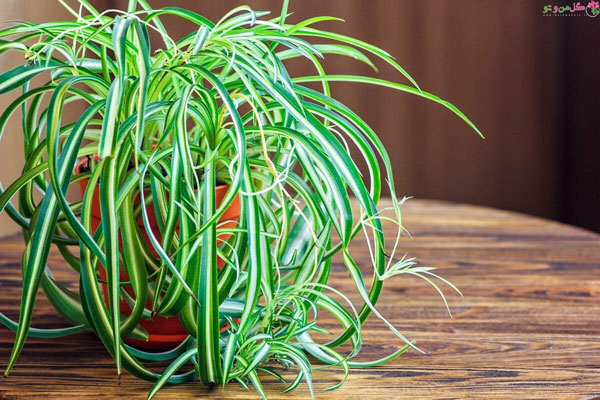 گیاه آویز گندمی