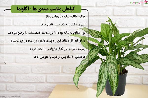 آگونما گیاه مقاوم