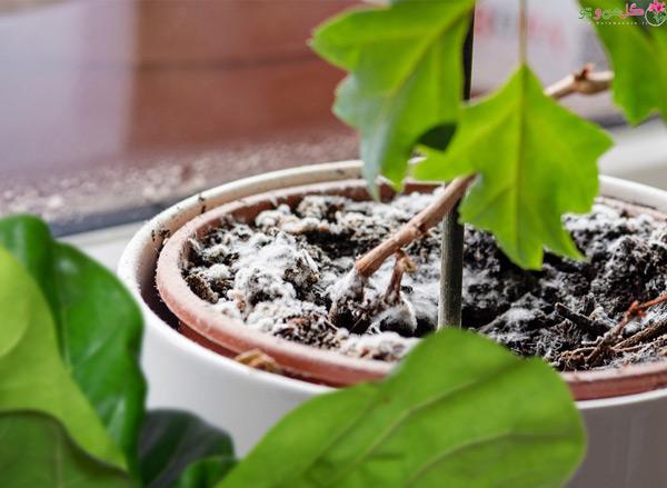 بیماری قارچی گیاهان آپارتمانی