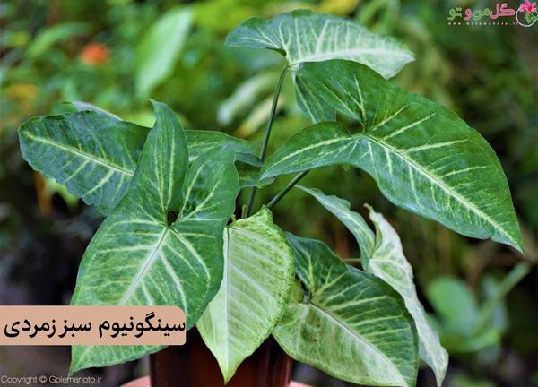 سینگونیوم سبز زمردی