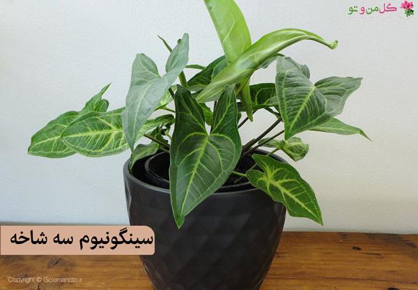 سینگونیوم سبز طلایی