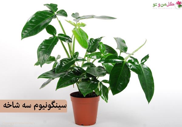 سینگونیوم سه شاخه
