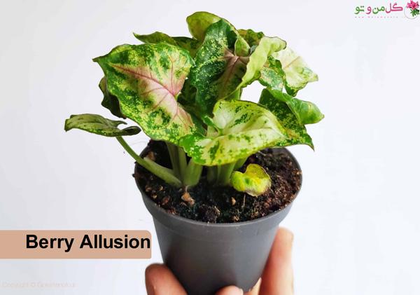 سینگونیوم Berry Allusion