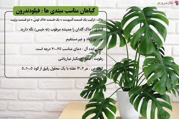 فیلودندرون گیاه مناسب مبتدی ها