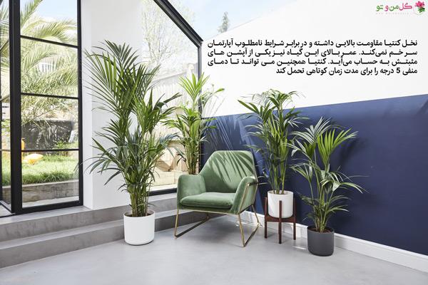 گیاه نخل کنتیا (kentia Palm)