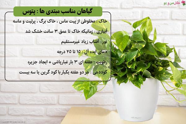 پتوس گیاه مناسب افراد مبتدی
