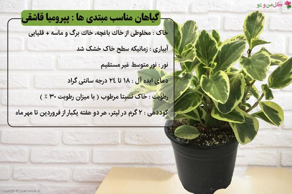 پپرومیا از گیاهان مناسب برای مبتدی ها