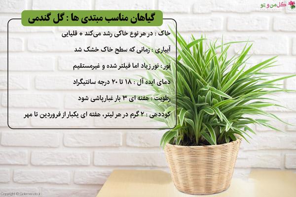 گل گندمی برای تازه کارها