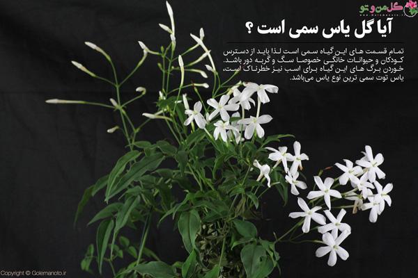 گل یاسمین سمی است