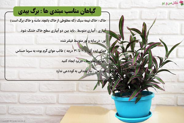 گیاهان مناسب تازه کارها - برگ بیدی