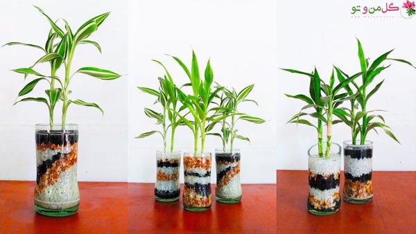 بامبو از گیاهانی که در آب رشد میکنند