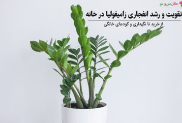 رشد انفجاری و تقویت زامیفولیا در خانه