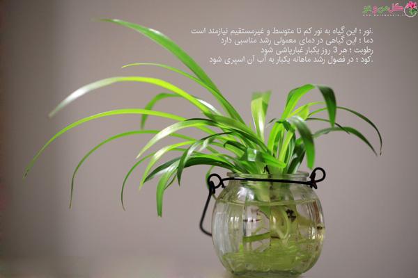 گیاهانی که در آب رشد میکنند - گندمی