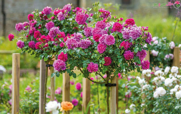 آبیاری و تقویت گل رز