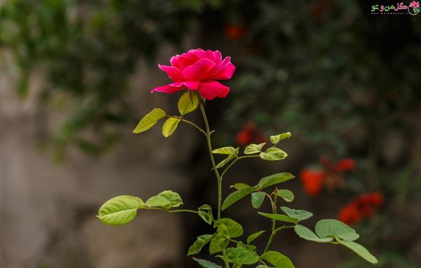 تقویت گل رز در گلدان و باغچه