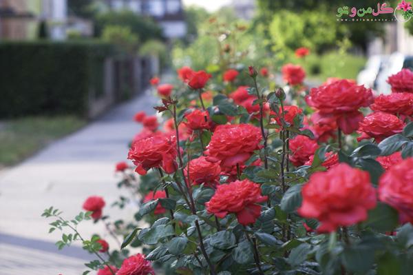 مراحل تقویت گل رز