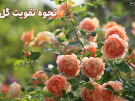 نحوه تقویت گل رز در گلدان و باغچه