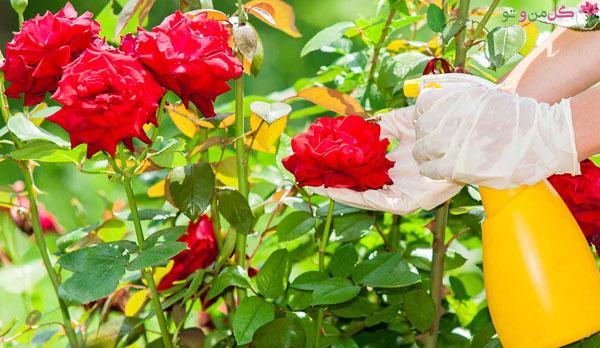 نگهداری و تقویت گل رز در گلدان