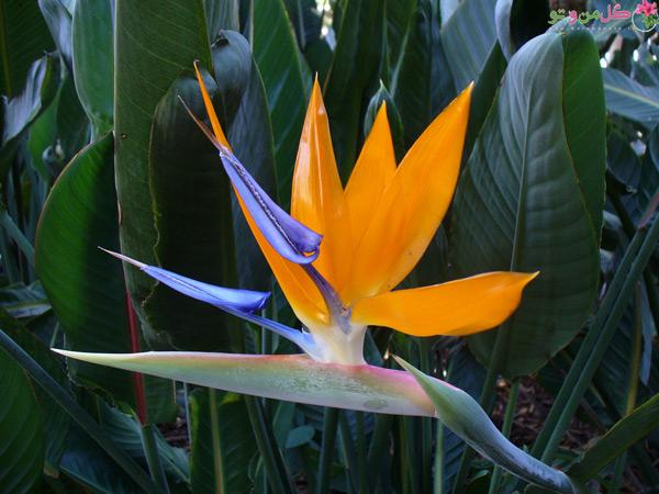 گل استرلیتزیا