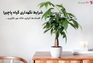 شرایط نگهداری گیاه پاچیرا